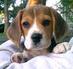 beagle-0008