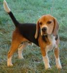 beagle_picture