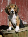 lynn-stone-beagle-dog-puppy